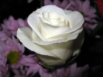 Chuyện tình hoa hồng trắng