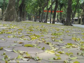 Mùa xà cừ đổ lá